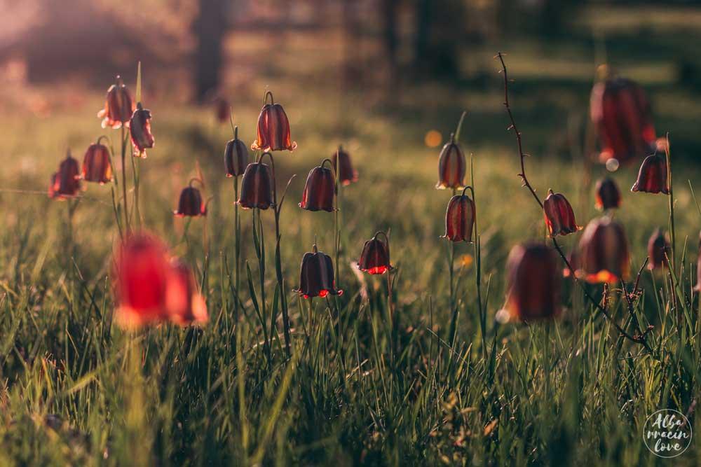 Fotografía de bosque de Fritillaria Lusitanica